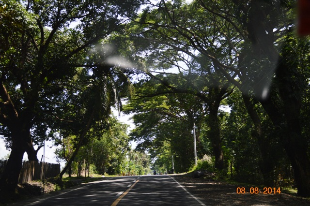 acacia trees in Patnongon